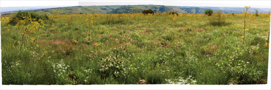 Wildflowers in the Galil