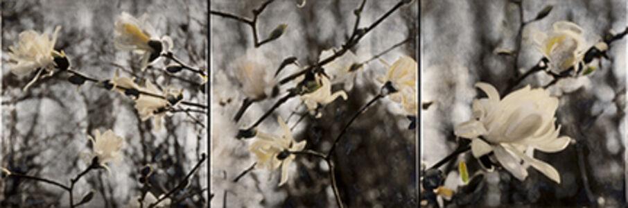 Royal Star Magnolias - triptych