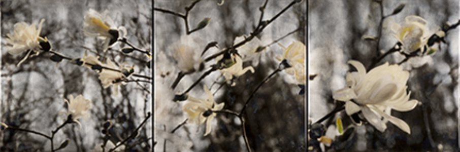 Royal Star Magnolias - triptych
