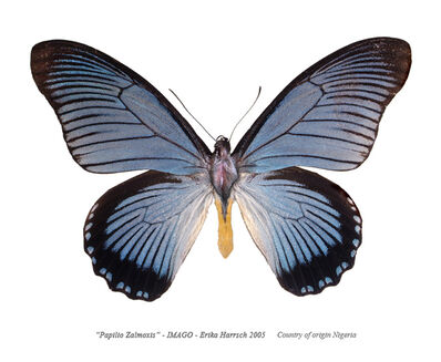 Erika Harrsch, 'Papilio Zalmoxis – Imago', 2016