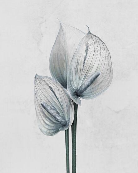 Vee Speers, 'Anthurium andraenum ', 2016