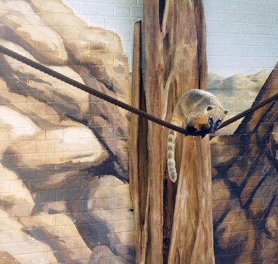 Eric Pillot, 'Coati and Stones', 2012