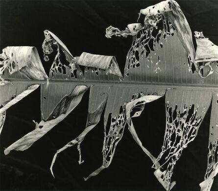 Brett Weston, 'Torn Leaf Hawaii', 1978