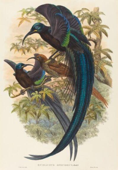 W. Hart, 'Epimachus speciosus (Sickle-billed Bird of Paradise)'