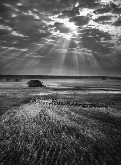 Sebastião Salgado, 'Herd of Buffalo, Kafue National Park, Zambia', 2010