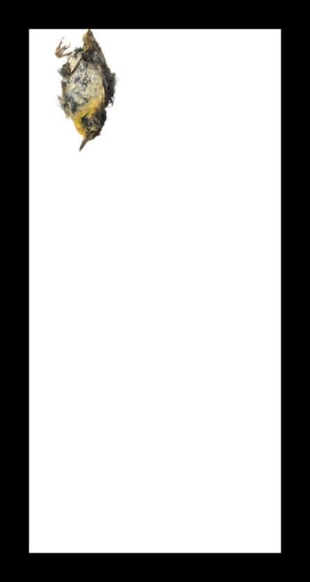 Thaddeus Holownia, 'Common Yellowthroat', 2017