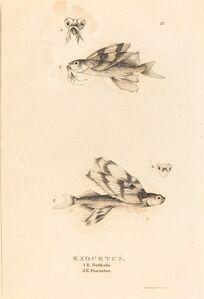 Charles Alexandre Lesueur, 'Exocetus', 1817/1821