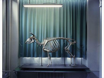 Richard Barnes, 'Right Panel, Cow, Musee Fragonard, Paris'