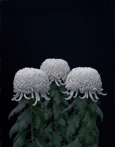 Tomoko Yoneda, 'Chrysanthemums', 2011