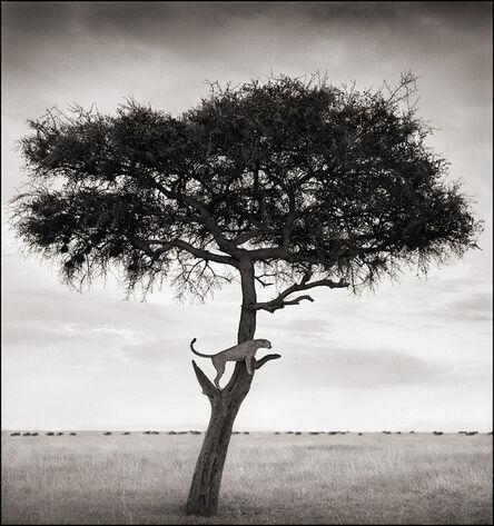 Nick Brandt, 'Cheetah in Tree, Maasai Mara', 2003