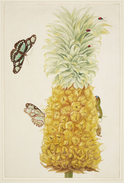 Maria Sibylla Merian, 'Ripe Pineapple with Dido Longwing Butterfly', 1702-1703