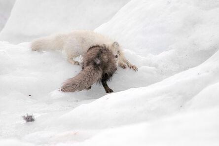 Ellen Jacob, 'Arctic Foxes', 2018