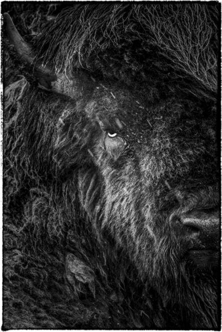 Matsui Yasunori, ' American Bison', 2014