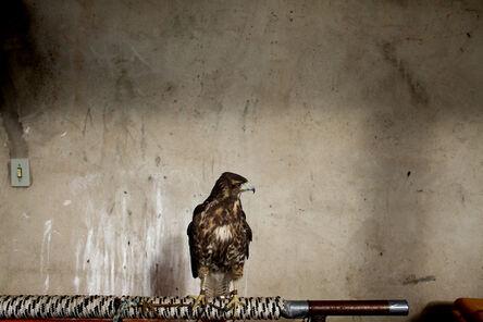 João Castilho, 'Hawk (from the series Zoo)', 2014