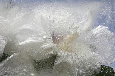 Mary Kocol, 'Rose of Sharon White Flower', 2011