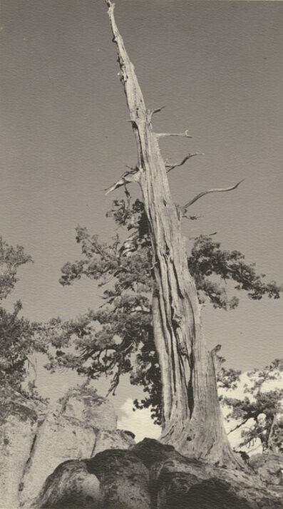 William Edward Dassonville, 'Ancient Bristlecone Pine Tree in the High Sierra', 1920s / 1920s