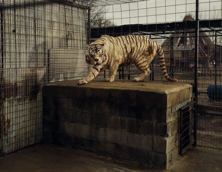 Taryn Simon, 'White Tiger (Kenny), Selective Inbreeding Turpentine Creek Wildlife Refuge and Foundation Eureka Springs, Arkansas', 2007