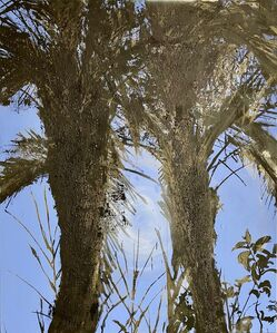 Nabil Nahas, ' Palm Trees from the Phoenix Dactylifera', 2020