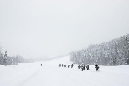 Eamon Mac Mahon, 'Wood Bison, Alaska Highway', 2014