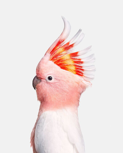 Randal Ford, 'Pink Cockatoo', 2018