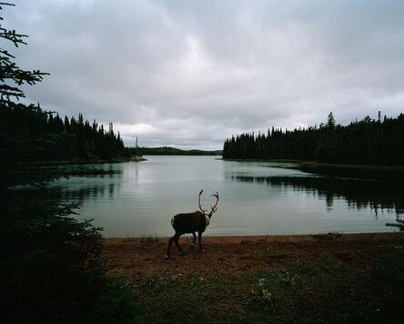 Eamon Mac Mahon, 'Woodland Caribou', 2011