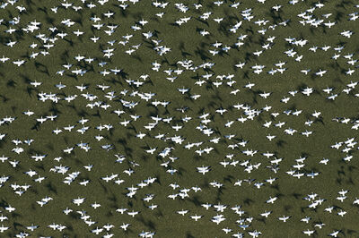 Louis Helbig, 'Snow Geese in Flight with Shadows', 2010