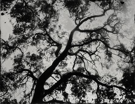 Ian Ruhter, 'CALIFORINA OAK TREE', 2016