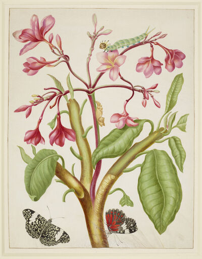 Maria Sibylla Merian, 'Frangipani plant with Red Cracker Butterfly', 1702-1703