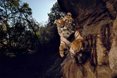 Michael Nichols, 'Charger, Bandhavgarh National Park, India, 1996'