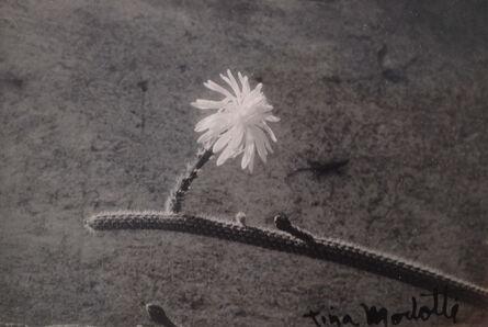 Tina Modotti, 'Untitled (Cactus)', 1926