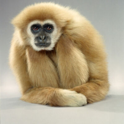 Jill Greenberg, 'Gibbon Lean', 2004