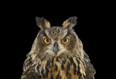 Brad Wilson, 'Eurasian Eagle Owl #1, St. Louis, MO', 2012