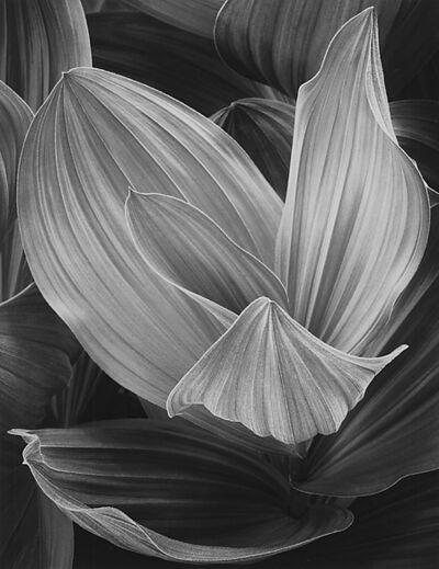 John Sexton, 'Corn Lily, Eastern Sierra, California', 1977