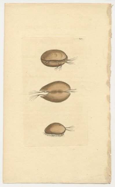 Frederick Polydore Nodder, 'Plate 390: The Muscle Monoculus', ca. 1795