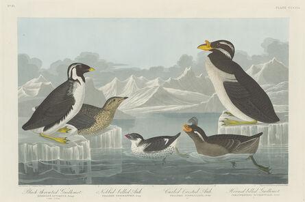 Robert Havell after John James Audubon, 'Black-throated Guillemot, Nobbed-billed Auk, Curled-Crested Auk and Horned-billed Guillemot', 1838