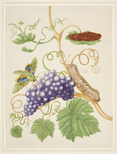 Maria Sibylla Merian, 'Grape Vine with Gaudy Sphinx Moth', 1702-1703