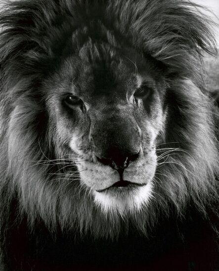 Walter Schels, 'Lion', 1990
