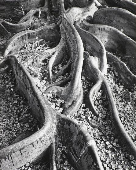 Ansel Adams, 'Roots, Foster Garden, Honolulu, Hawaii ', 1948