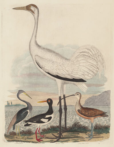 John G. Warnicke after Alexander Wilson, 'Louisiana Heron, Pied Oyster-catcher, Hooping Crane, and Long-billed Curlew', published 1808-1814