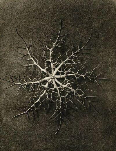 Karl Blossfeldt, 'Plate 28 - Nigella damascena, Love-in-a-mist, sepals '