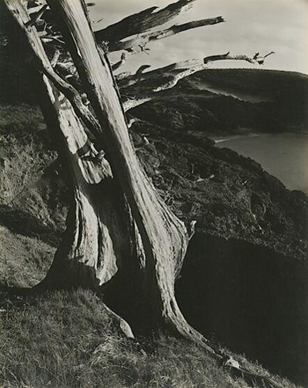 Edward Weston, 'Monterey Cypress, Point Lobos (59T)', 1930