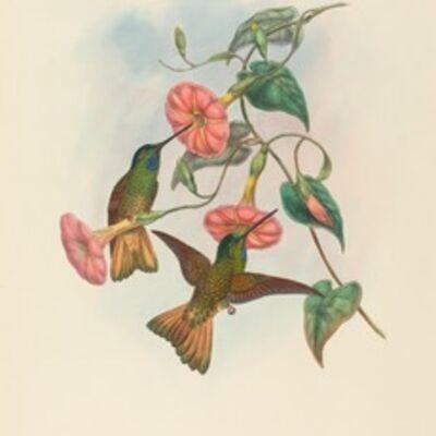 W. Hart, 'Helianthea osculans (Buff-tailed Star-Frontlet)'