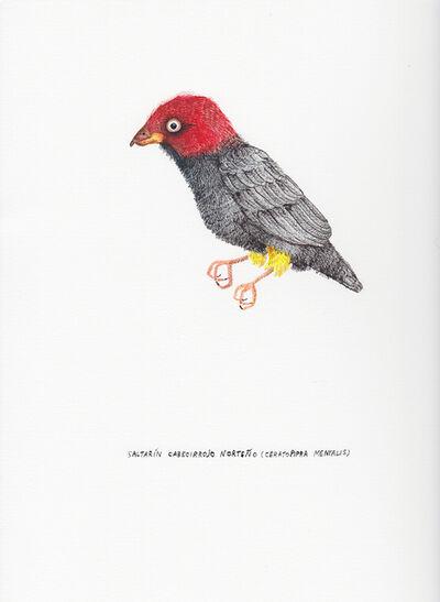 Kevin Simón Mancera, 'Saltarín Cabecirrojo Norteño (Ceratopipra Mentalis) ', 2017