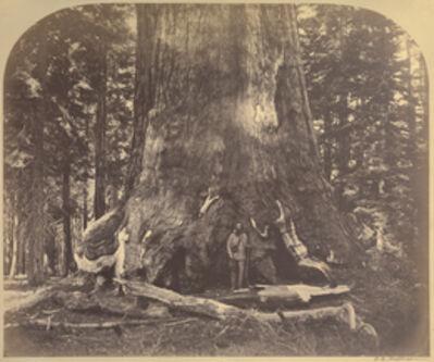 Carleton E. Watkins, 'Section Grizzly Giant, Mariposa Grove', 1861