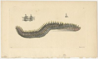 Frederick Polydore Nodder, 'Plate 339: The Rostrated Terebella', 1789