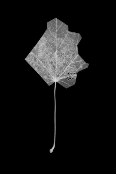 Henrik Strömberg, 'Leaf Cut 07'