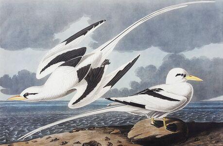John James Audubon, 'Tropic Bird', 1835