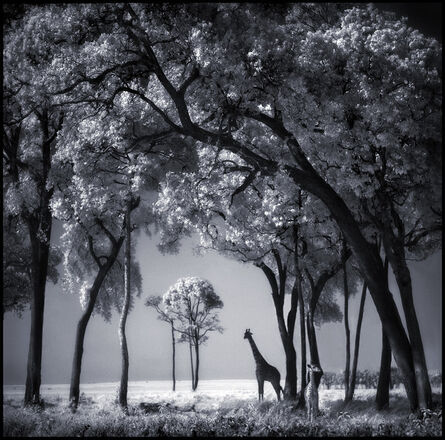 Nick Brandt, 'Giraffe and Baby Under Trees ', 2002