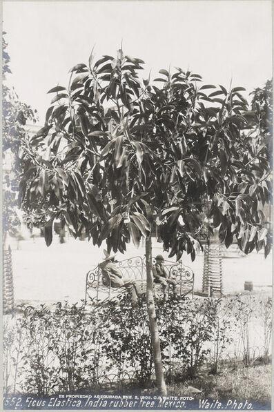 CHARLES BETTS WAITE, 'Ficus Elastica (India rubber tree )', 1905