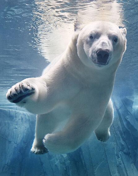Tim Flach, 'Polar Bear Swimming', 2017